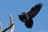 Common Raven (Mitch Vanbeekum Photography) Tags: raven flight inflight flying fly perching landing blue sky statelinelookout alpine nj newjersey mitchvanbeekum mitchvanbeekumcom canon14teleconvertermkiii canonef500mmf4lisiiusm canoneos1dx corvuscorax common commonraven northern northernraven