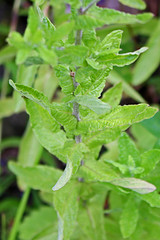 Inula salicina L. - Wilgalant - BG Berlin (Ruud de Block) Tags: berlinbotanicalgarden botanischergartenberlin compositae asteraceae taxonomy:binominal=inulasalicina wilgalant inulasalicina ruuddeblock