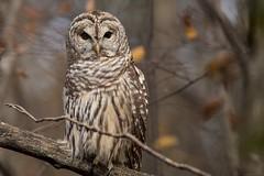 Happy Owl-O-Ween!! (NicoleW0000) Tags: barredowl wild wildlife nature outdoor photography woods