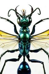Chlorion lobatum (Sphecidae) (Scrubmuncher) Tags: chlorion wasp chlorionlobatum sphecidae predator hymenoptera macro insect nature focusstack