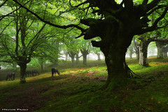Haven of Peace (Hector Prada) Tags: bosque niebla caballos árbol bruma verano raices musgo hayedo hojas forest fog horses tree mist summer roots mood moss enchanted charmed mystic nature paísvasco basquecountry leaves