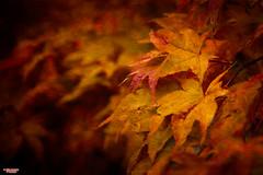 The Colors of Fall (MBates Foto) Tags: artistic autumn availablelight botanical color existinglight fall foliage leaves nikkorlense nikon nikond810 outdoors plants spokane tree washington unitedstates 99203