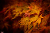 The Colors of Fall (MBates Foto) Tags: artistic autumn availablelight botanical color existinglight fall foliage leaves nikkorlense nikon nikond810 outdoors plants spokane tree washington unitedstates 99203