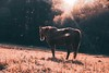 Morning light (Marianne LD) Tags: equitation cheval nature france animal silhouette soleil campagne horse automne