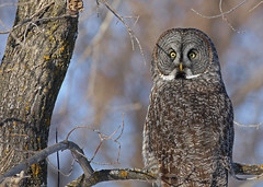 Great Gray Owl...#15 (Guy Lichter Photography - 3.7M views Thank you) Tags: canon 5d3 canada manitoba wildlife animal animals birds owls greatgrayowl