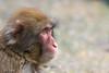 2017-10-26-Amersfoort-0136.jpg (BZD1) Tags: macacafuscata natuur dierenparkamersfoort primates mammal cercopithecidae macaca japanesemacaque nature japansemakaak animal