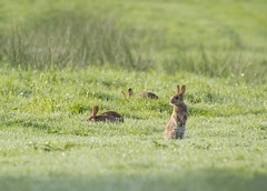 the lookout (Emma Varley) Tags: rabbit alert lookout animals nature grass earlymorning three westsussex pulboroughbrooks