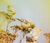 Seed Searching. (Omygodtom) Tags: wild wildlife yellow golden gold bokeh bird goldfinch natural nikkor nature nikon dof d7100 digital star diamond nikon70300mmvrlens usgs urbunnature migrate blur 7dwf asion