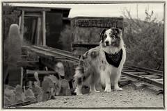44/52 Old Minin' Dawg (Jasper's Human) Tags: 52weeksfordogs 52wfd aussie australianshepherd dog goldmine goldfield oldwest