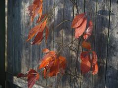 DSC07067 (Old Lenses New Camera) Tags: sony a7r kodak ektar anastigmatektar bantamspecial 45mm f2 plants garden autumn tree leaves branches fence wood texture