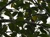 _1290066 social flycatcher (5) (archaeologist_d) Tags: honduras birdwatching haciendasanlucas socialflycatcher