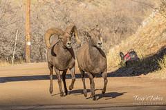 Bighorn Sheep ram pursues a female