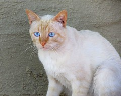 Ghost (CatnessGrace) Tags: cats siamesecats artistic artisticphotography portraits catportraits animalportraits felines chats gatos gatti white texture wall blue blueeyes catseyes catfaces blueeyedcats