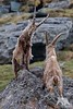 Ibex Fight (fascinationwildlife) Tags: animal mammal alps alpine alpen wild wildlife nature natur national park ibex steinbock male rock fight austria österreich kärnten hohe tauern spring ram buck europe grosglockner