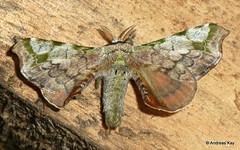 Silkworm Moth, Quentalia sp.? Bombycidae (Ecuador Megadiverso) Tags: amazon andreaskay apatelodidae quentalia bombycidae ecuador moth rainforest silkwormmoth tamanduareservaflores