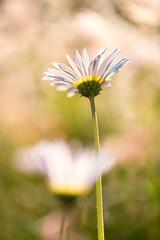 Daisies (mclcbooks) Tags: flower flowers floral macro closeup daisy daisies denverbotanicgardens colorado