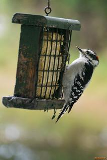 Pic mineur, Woodpecker, Québec, Canada - 3962