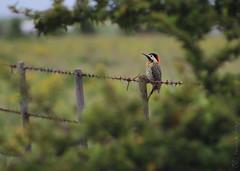 carpintero (marianodearriba) Tags: marianodearriba carpintero aves argentina