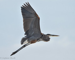 Great Blue Heron (stephaniepluscht) Tags: alabama 2017 bon secour national wildlife refuge fort morgan hurricane nate great blue heron
