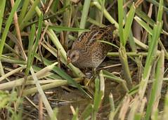 Spotted Crake - Porzana porzana (Gary Faulkner's wildlife photography) Tags: spottedcrake porzanaporzana