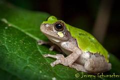 Bird-voiced Treefrog (Jeremy Schumacher) Tags: nikon d500 nature animal wildlife shawnee illinois amphibian frog birdvoiced treefrog hyla avivoca explore