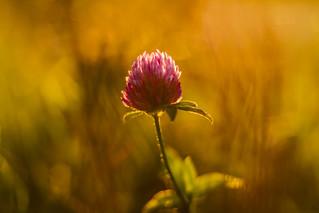Clover's blossom