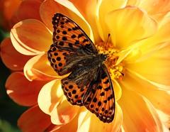 Perlmutterfalter (LuckyMeyer) Tags: butterfly orange yellow black flower fleur makro insect sun dahlia summer garden fritillary