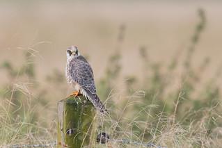 Rotfußfalke (Falco vespertinus)