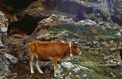 Picos de Europa, cows in a cave (blauepics) Tags: spanien espana spain landschaft landscape berge mountains cantabria kantabrien parque nacional nationalpark picos de europa cows cattle kühe vieh animals tiere farmers bauern breeding züchten rocks felsen stone steine cave höhle