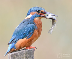 The King and his catch (mikedenton19) Tags: kingfisher male alcedo atthis alcedoatthis bird nature wildlife water river scotland kirkcudbright alanmcfadyen kingfisherhide fish catch fishing commonkingfisher