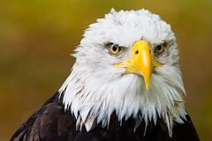 Weißkopfseeadler V (oliverhoffmann77) Tags: tier animal vogel bird greifvolgel crossbird birdofpray adler eagle weiskopfseeadler haliaeetusleucocephalus baldeagle porträt gruga