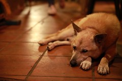 Dog at the Restaurant (superzookeeper) Tags: formosa 5dmk4 5dmkiv canoneos5dmarkiv ef2470mmf28liiusm eos digital taiwan tw jiufen night bokeh dog dogsofflickr dogsofjiufen dogsoftaiwan free freedom