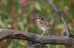 White-throated Sparrow (Joe Branco) Tags: sparrow whitethroatedsparrow wildlifephotography nature lightroomcc2017 photoshopcc2018 joebrancophotography nikon nikond850 branco joe birds wildlife green