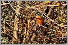 Martin-Pêcheur 171024-01-P (paul.vetter) Tags: oiseau ornithologie ornithology faune animal bird martinpêcheur alcedoatthis eisvogel kingfisher