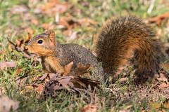 Fox squirrel (explored 10-26-2017) (Lynn Tweedie) Tags: