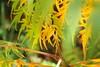 Autumn hues (No_Mosquito) Tags: staghorn sumac autumn colours fall orange green hues leaves canon powershot g7xmarkii nature dof