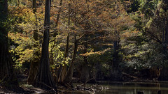 Fourche Creek (Eric Hunt.) Tags: baldcypress cupressaceae fourchecreek freshwater taxodium taxodiumdistichum wetland littlerock arkansas