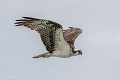 Osprey (Linda Martin Photography) Tags: pandionhaliaetus usa fortmyers sanibelisland osprey dingdarlingwildliferefuge florida coth naturethroughthelens coth5 ngc sunrays5 npc