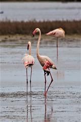 Flamenco Rosa (Javier_Muñoz) Tags: flamenco rosa deltadelebre phoenicopterusruberroseus tarragona naturaleza humedal latancada