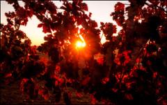 AUTUMN SUN (TOYOGRACOR) Tags: plantas aplusphoto color flickrdiamond bej canon explore flickr dof mygearandme mygearandmepremium mygearandmebronze mygearandmesilver godlovesyou desenfoque flickrflorescloseupmacros otoño rojo rojos mywinners sol follaje planta hoja brillante serenidad textura fotos cepas uva viña autumn hojas vid vinya blood red luz rayosdesol colorrojo prietopicudo rojosangre transparencia castillaleón españa spain