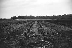 restart... (st.weber71) Tags: nikon nrw niederrhein natur schwarzweis blackandwhite felder nature d800 deutschland germany wetter outdoor art bäume nackt