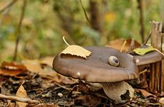 Autumn scene (Ruslan Daniluk) Tags: autumn mushroom leave snail park ukraine