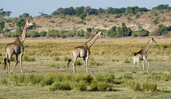 Family Outing (setoboonhong ( Back and catching up )) Tags: nature outdoor game drive chobe national park giraffes family evening stroll graceful steps elegant botswana grass bushes travel