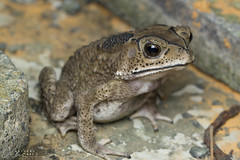 Asian Common Toad (Duttaphrynus melanostictus) (Anthony Kei C) Tags: asiancommontoad macrophotography bufonidae duttaphrynusmelanostictus nature