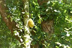 jaca (jcspl) Tags: árvore jackfruit jardimbotânico