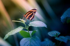Schmetterling (Thilo Sengupta) Tags: butterfly papillion macro animal insekten bug bugs tiefenschärfe dof depthoffiled canon canoneos80d lightroom tamron tamronlens tamron70200mm nice nicepic picoftheday beautiful wonderful