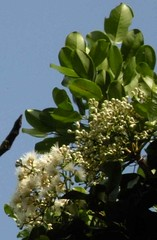 syzygium.forte.leaves.flowers (dave.kimble) Tags: syzygiumfortesubspforte syzygium myrtaceae flakybarkedsatinash brownsatinash arfp tropicalarf littoralarf arfflowers whitearfflowers