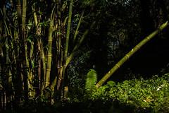 Gocha-la trek in Sikkim, India (David Ducoin) Tags: asia bamboo dzongri gochala green hike himalaya india kangchenjunga nationalpark nature sikkim stilllife trek gangtok in