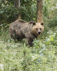 IMG_6601 (Branko.Hlad) Tags: medvedka bears gozd narava živali animals