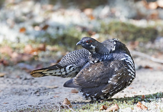 Spruce grouse male in Algonquin Park